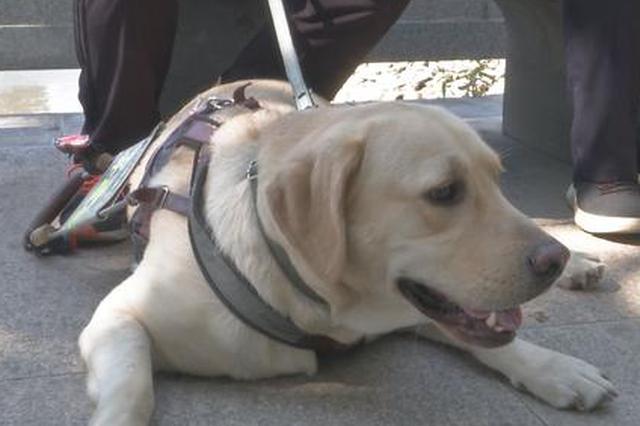 你是我的眼 福州首只导盲犬带视障人士乘坐公交