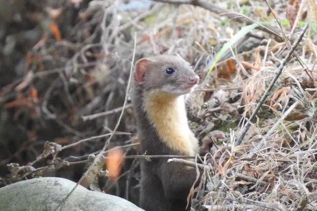 三明拍到黄腹鼬活动影像 此前被列入濒危物种名录