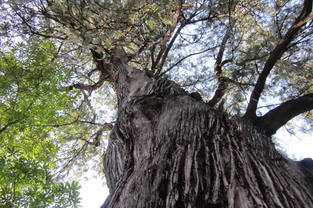 福建首推 永泰花180万为409棵古树买保险