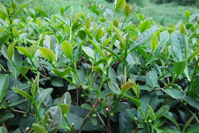 第二届中国茶产业T20峰会在福建安溪县举行