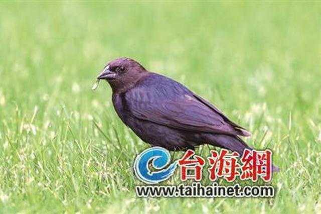 """""""黑老大""""现身厦大引轰动 此鸟类在厦首次被发现"""