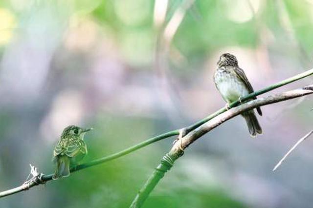 萌萌褐胸鹟幼鸟现身天竺山 很可能是在厦出生