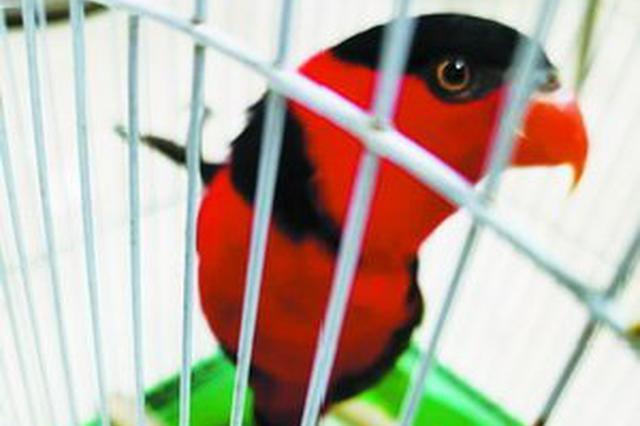 厦门:鹦鹉飞进家居民想养 上网一查竟是濒危保护动物