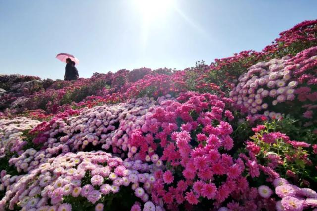 三明沙县菊花进入最佳观赏期 50亩花海美翻了