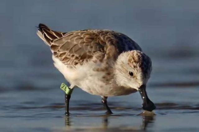 世界濒危鸟勺嘴鹬现身晋江 全球仅661只