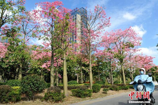 美丽异木棉盛开 粉色花朵扮靓福州