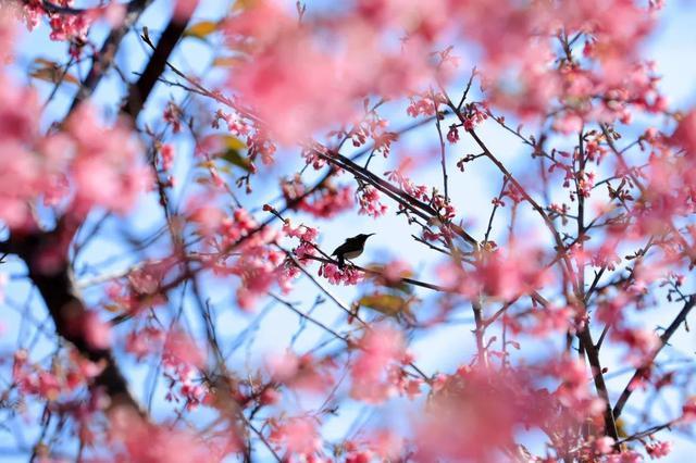 美翻了!翔安妙高山樱花盛开