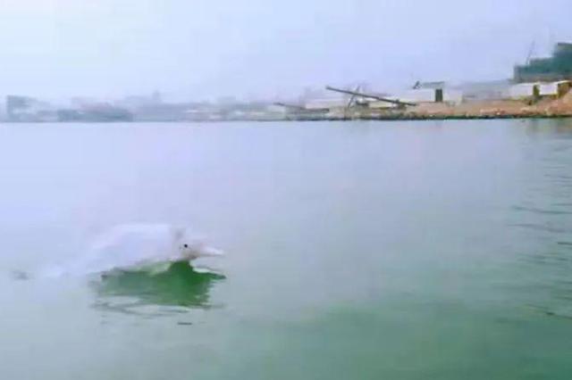 """泉州南安石井海域近10只白海豚""""拜早年""""啦!"""