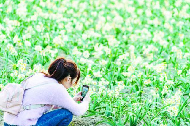 漳州高新区水仙花陆续绽放 赏花正当时