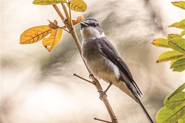 琉球山椒鸟现身 系福建首次记录到的新鸟种