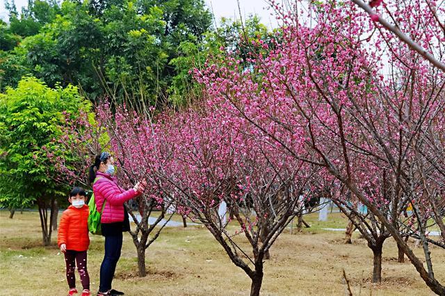 福州市儿童公园200多株梅花盛开 参观前记得预约