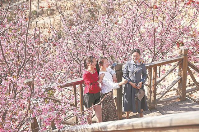 感受大好春光 漳州港樱花处处开