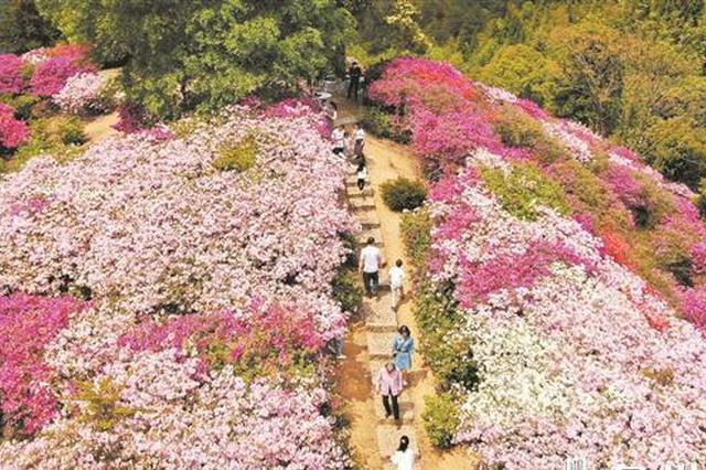 泉州多地杜鹃花进入盛花期 赏花市民络绎不绝