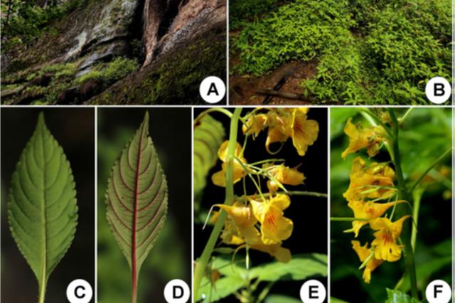 武夷山国家公园发现2个植物新种,科学家找了60年