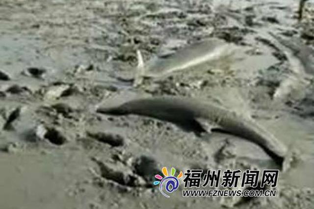 福清6只海豚搁浅滩涂 众人全力救助放生