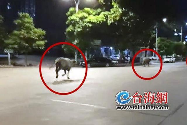 3头水牛漳州市区深夜狂奔 警方:谁家的牛儿,快来带回家