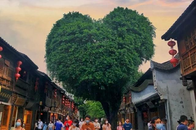 爱你的形状!福州三坊七巷这棵树,火了