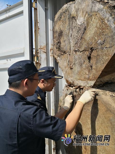 榕城海关关员在对来自美国的黑胡桃木进行查验。