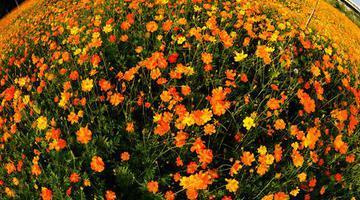 福州台屿河串珠公园花开正艳