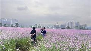 龍巖:公園20畝紫色花海遭踐踏