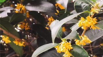 福州城區里數百棵桂花樹盛開