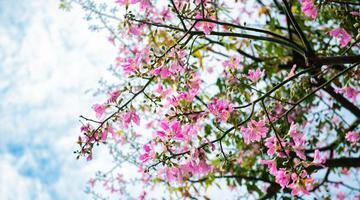 泉州美人樹花開滿街 構成浪漫街景