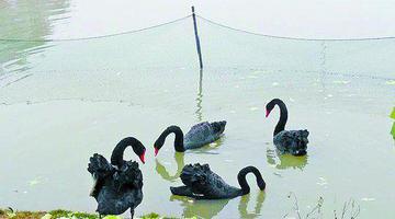厦大湖畔黑天鹅忙孵化 校方提示勿惊扰