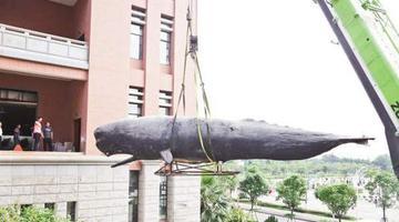 厦门:抹香鲸标本搬家 重达3吨长12.6米