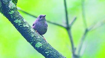 丽星鹩鹛现身 厦野生鸟类鸟种纪录刷新
