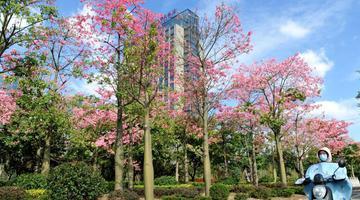 粉色花朵扮靓福州