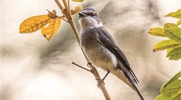 福建首次记录到琉球山椒鸟