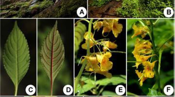 武夷山国家公园发现2个植物新种