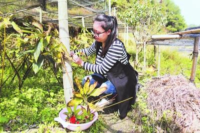 邓雪雯在采摘重楼籽。