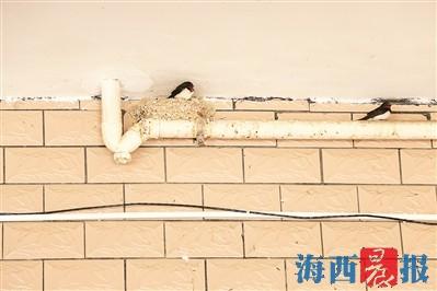 春日来临,燕子便来到苏女士家中垒窝,如今其家中有20余处燕子窝。记者 王晓萍 摄