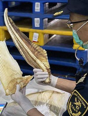 深海长尾鲨鱼骨混进干鱼骨头堆被查获