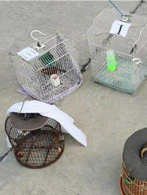 三明尤溪:贩卖野生画眉鸟,违法了!