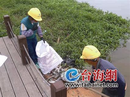 ▲工人正在江边清理死鱼