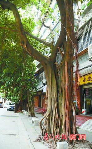 ■寿彭路旁边的榕树,有一棵修剪过。刘东华 摄