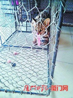 豹猫警惕的眼神。
