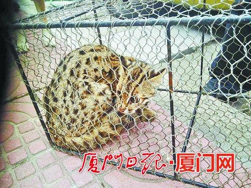 被捕获的豹猫蜷缩在笼子里。