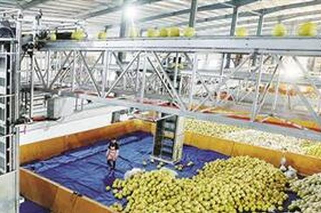"""漳州:蜜柚""""冻龄"""" 两颗四十块 可一直销售到三月份"""