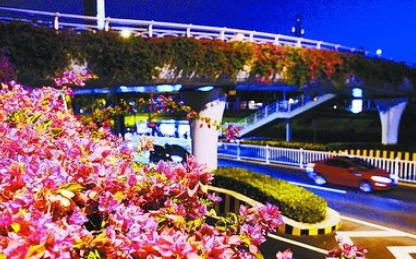五彩三角梅将扮靓人行天桥 进一步展现市花魅力