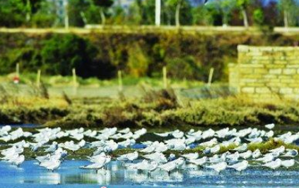 厦门部分海域被护花米草攻占 黑嘴鸥无处觅食