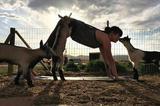 """""""Goat Yoga""""收获意想不到的快乐"""