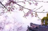 小众赏樱攻略 | 2019年日本樱花开花季日程表