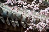 赏樱何必去日本?这些刷爆朋友圈的胜地千万别错过