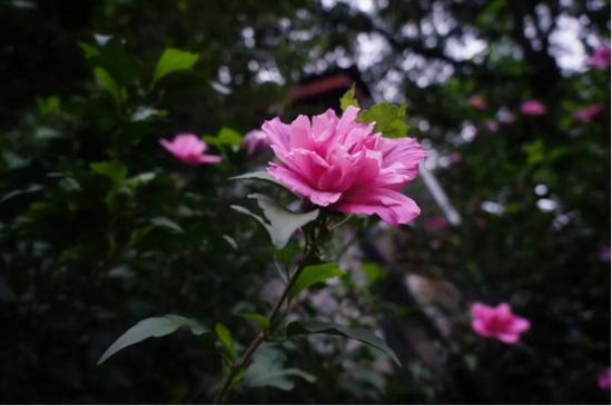 清代憨休如乾禅师《敲空遗响》有红、白木槿花诗各一首。(图片来源:灵隐寺)