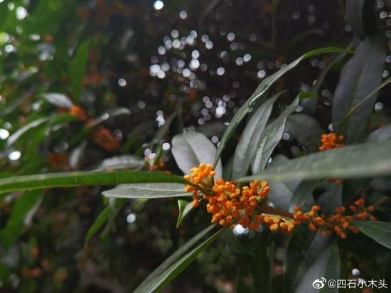 """无意间闻到花香,抬头一看,果然,树上结出了""""金串串""""(摄影:@四石小木头 )"""
