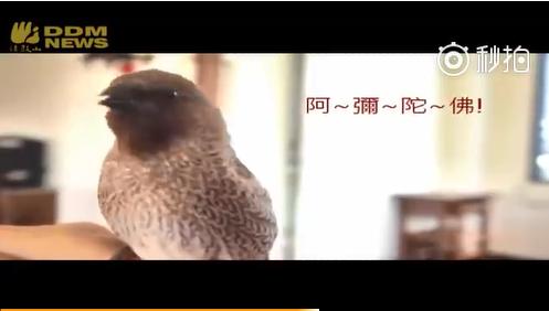 一句句清亮的'阿弥陀佛',居然从一只名叫宽大的斑文鸟口中传出。