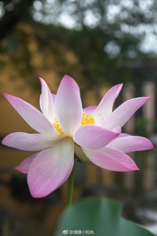 就如同莲花不能种植于大理石上,没有泥土,美丽的莲花便无法生长。(摄影:@惜缘小和尚)